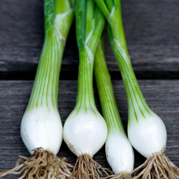 Spring Onion  U0026 39 White Lisbon U0026 39